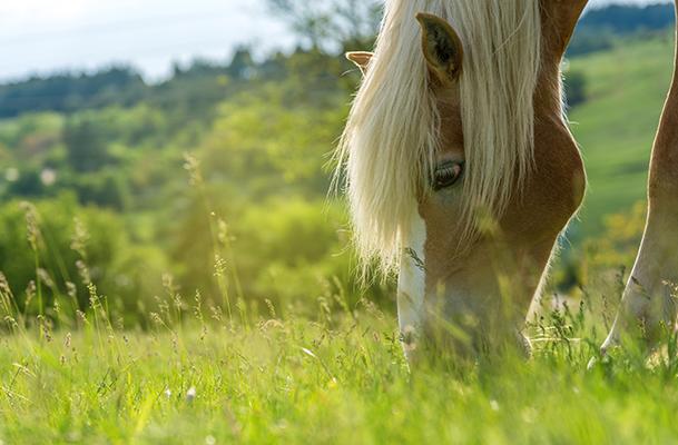 L'ulcère gastrique du cheval image