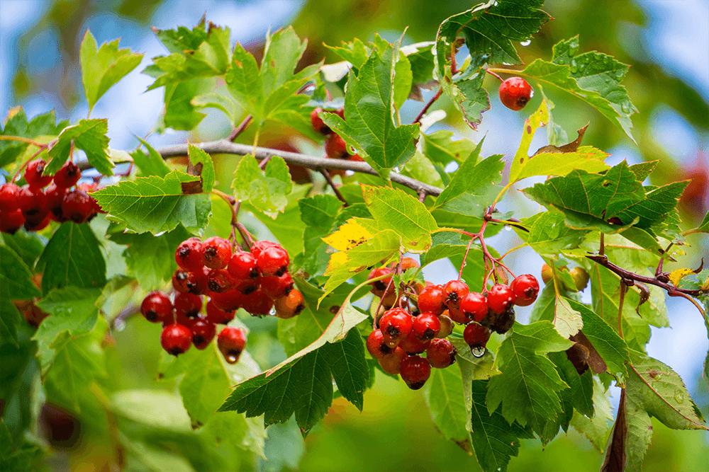 L'aubépine, une plante qui a du cœur image
