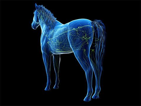 Pferdegesundheit – Lymphknotenentzündung image