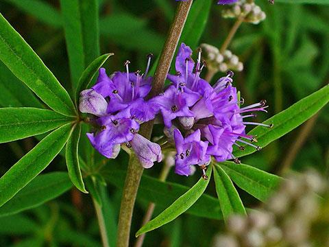 Vitex Agnus Castus Flowers